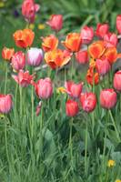 Tulips of many colors