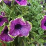 """""""Petunia"""" by amnonz"""