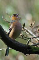 Chaffinch in Song