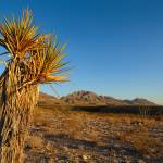 """""""Yucca in Desert"""" by BrianWancho"""