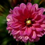 """Pink Daliah"" by loversdream"