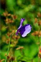 Wild Sweet Pea and Hover Fly
