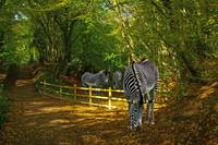 Zebra in the woods