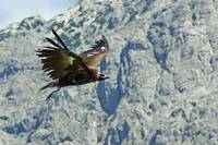 Bird of Prey in flight in the Alps