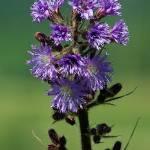 """Wildflower blue"" by loversdream"