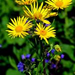 """Common Ragwort, Senecio jacobaea"" by loversdream"