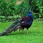 """The Peacock Strut"" by ThomasJoseph"