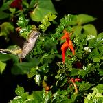 """Humming Bird Honeysuckle"" by steveondrusphotography"
