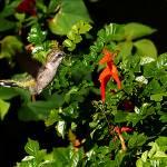 """Humming Bird Honeysuckle"" by steveondrusphotography"