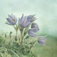 """on the crocus bluff"" by Piri"