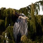 """""""Heron"""" by raetucker"""