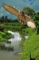 Owl flying over the river ivel, Bedfordshire