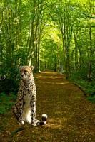 Cheetah in Avenue of trees