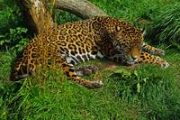 Jaguar asleep? not likely