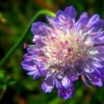 """Small Scabious, Scabiosa columbaria"" by loversdream"