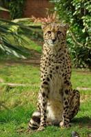 Cheetah - Just Sitting