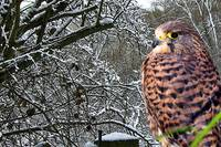 Kestrel in the Woods
