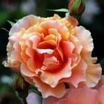 """Florid Rose"" by loversdream"