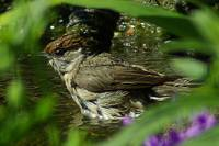 Female Blackcap Bathtime