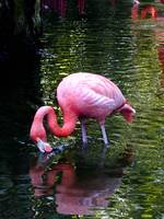 Thirsty Flamingo