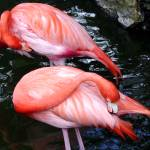 """Flamingoes"" by paulyworksfineart"