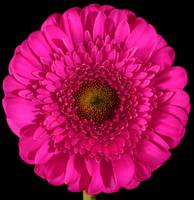 Pop Art Pink Gerbera