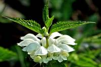 White Deadnettle, Lamium album