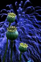 Fireworks behind Poppy Seedheads