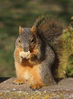 Squirrel eating a frosted mini wheat