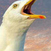 """Seagull Screaming"" by Gordon Longmead"