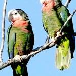 """Bahama Parrots"" by paulyworksfineart"