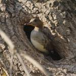 """Hooded merganser in tree hole"" by cameragal"