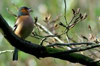 Chaffinch on branch singing