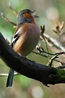 Chaffinch in Song 3