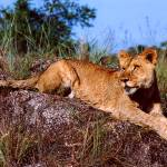 """Lion Resting on Rock"" by Serena"
