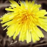 """""""dandelion"""" by cloudsinmycoffee"""