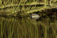 Ducks and reflections 1