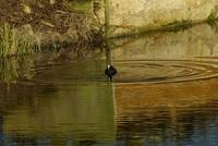Coot and Reflections 2