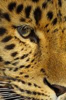 Amur Leopard in close up