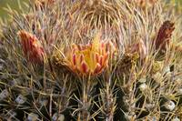Barrel Cactus Flower Blooms