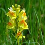 """Common Toadflax, Linaria vulgaris"" by loversdream"