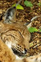 Eurasian Lynx Sleeping