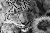 Snow Leopard in greyscale