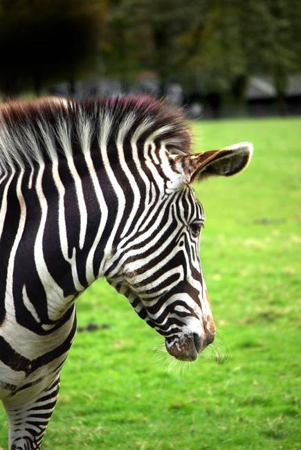 """Portraits """"Zebra&..."""