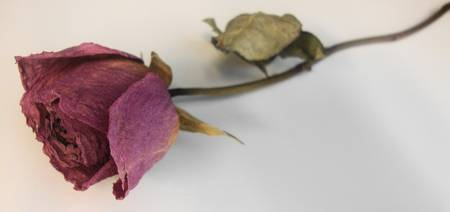 Dried Rose 1