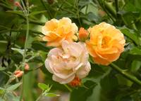 Orange and Pink Roses in Garden