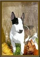 Minature Bull Terrier