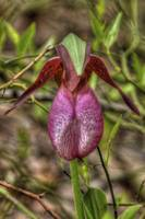 Pink Lady Slipper (Cypripedium acaule)