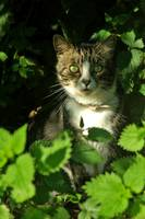 Cat in the nettles