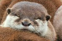 Tired Otter
